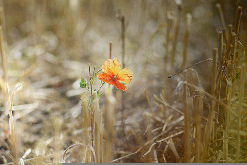 Poppy, Field, Grass, Dry, Rural, Agriculture, Drought