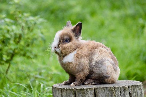 Dwarf Rabbit, Little Rabbit, Hare, Bunny, Furry, Cute
