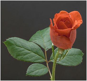 Rose, Flower, Leaves, Stem, Rose Stem, Blossom, Bloom