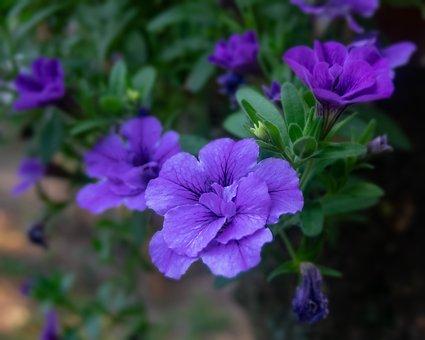 Flowers, Blue Flowers, Blossom, Bloom, Blue Petals