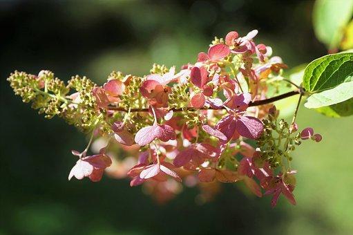 Hydrangea, Flowers, Inflorescence, Pink Flowers