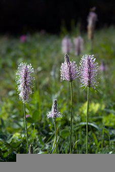 Viviparous Bistorta, Polygons, Flowers, Inflorescence