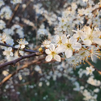 Cherry Blossoms, Flowers, Branch, White Cherry Blossoms