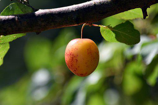 Plum, Fruit, Tree, Fresh, Fresh Plum, Fresh Fruit