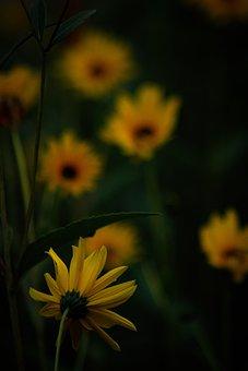 Sunflower, Flower, Garden, Yellow Flower, Dark, Bloom