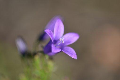 Harebell, Flower, Garden, Petals, Bluebell
