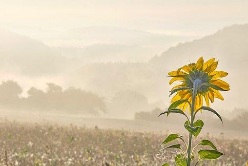Sunflower, Fog, Fields, Haze, Mist, Prairie, Meadow