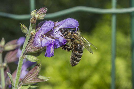 Honeybee, Bee, Flower, Insect, Pollination, Lavender