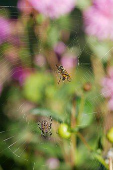 Spider, Bee, Trapped, Insect, Web, Nature, Spiderweb