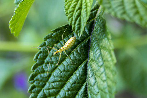 Aphid, Insect, Bug, Leaf, Macro, Close Up, Flora, Fauna