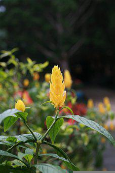Golden Candle Plant, Flower, Nature, Lollipop Plant