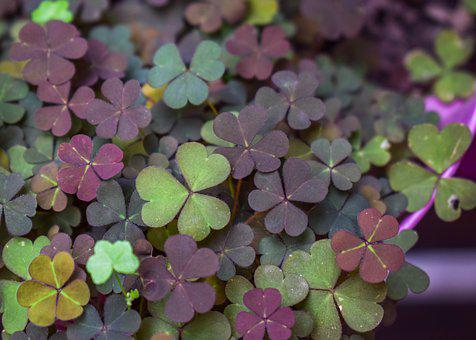 Clover, Shamrock, Plants, Leaves, Foliage, Luck, Nature