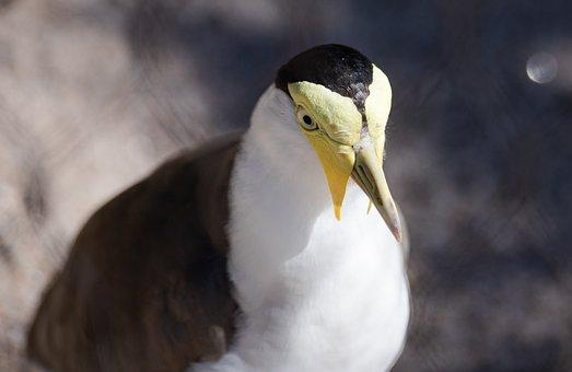 Masked Lapwing, Bird, Zoo