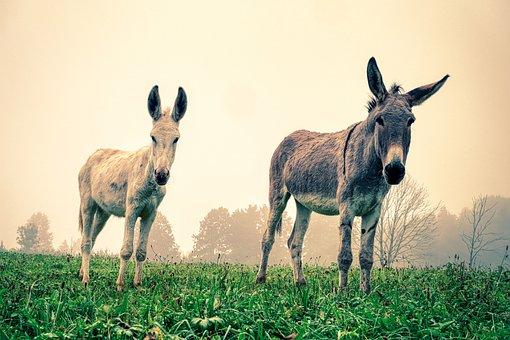 Donkeys, Pasture, Couple, Mammal, Animals, Meadow