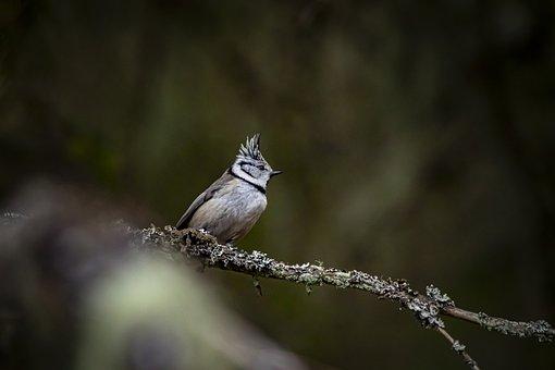 European Crested Tit, Bird, Nature, Crested Tit