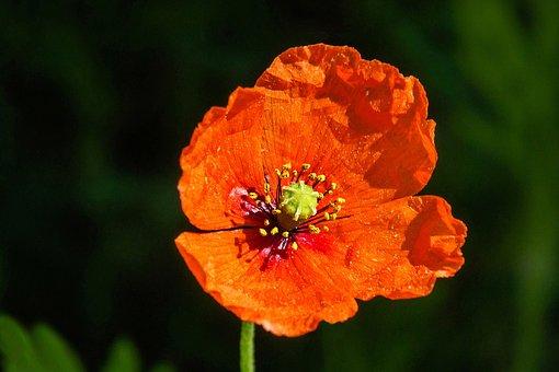 Poppy, Flower, Field, Red Flower, Petals, Pistils