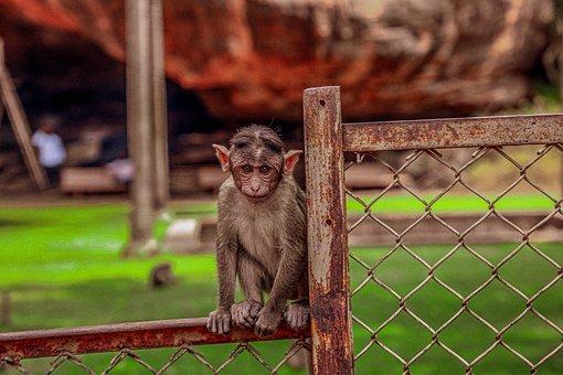 Monkey, Ape, Primate, Mammal, Baby, Fence, Furry