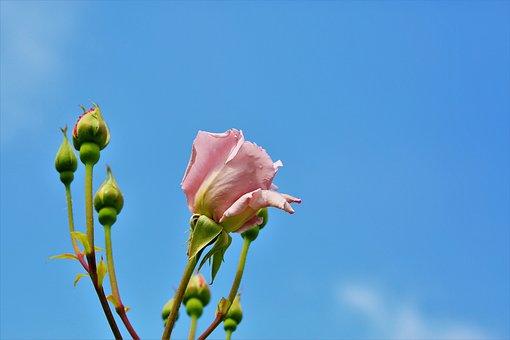 Rose, Flower, Buds, Pink Flower, Bloom, Blossom