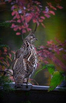 Ruffed Grouse, Bird, Nature, Grouse, Plumage, Animal