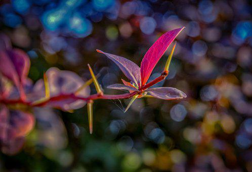 Barberry, Spikes, Leaves, Flora, Floriculture