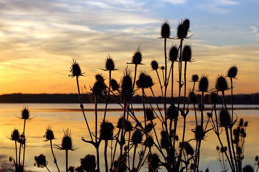 Teasels, Sunset, Silhouette, Thistles