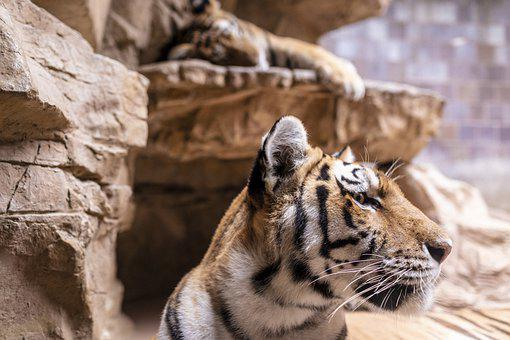 Tiger, Animal, Zoo, Mammal, Big Cat, Wild Animal