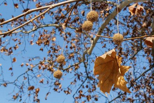 Plane Tree, Platanus, Tree, Close Up, Dry Leaves