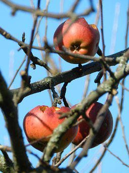 Apples, Branches, Tree, Red Apples, Fruit, Food