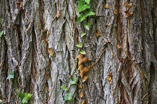 Tree, Trunk, Bark, Wood, Leaves, Ivy, Nature