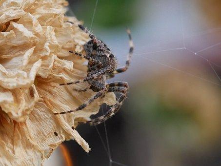 Spider, Insect, Web, Spiderweb, Cobweb