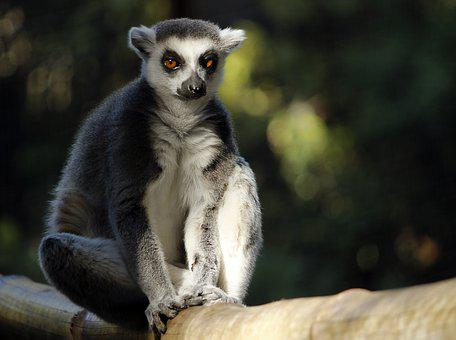 Lemur, Animal, Nature, Mammal, Primate, Wild Animal