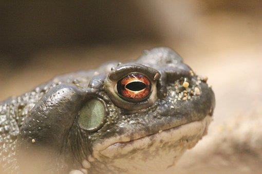 Toad, Frog, Chordata, Colorado River Toad, Amphibian