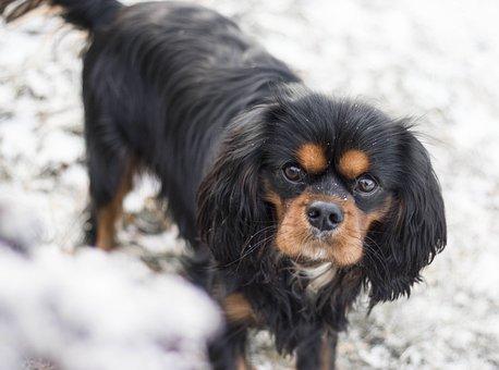 Dog, Snow, Cavalier King Charles Spaniel, Pet, Animal