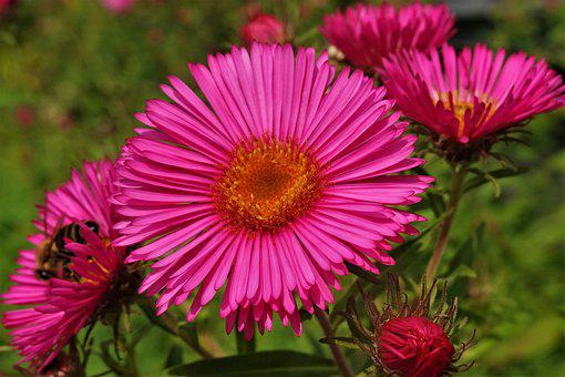 Aster, Flowers, Petals, Pink Flowers, Bloom, Blossom