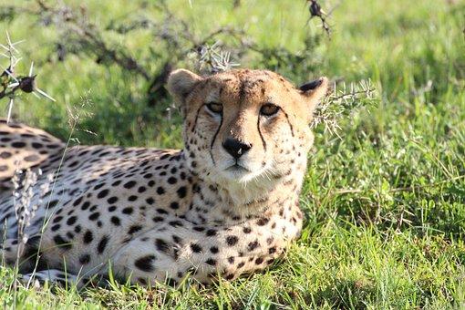 Cheetah, Animal, Nature, Predator, Mammal, Big Cat