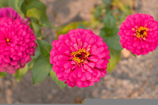 Zinnia, Flowers, Petals, Bloom, Blossom, Pink Flowers