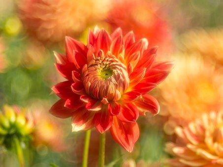 Dahlia, Flower, Bloom, Blossom, Petals, Flora