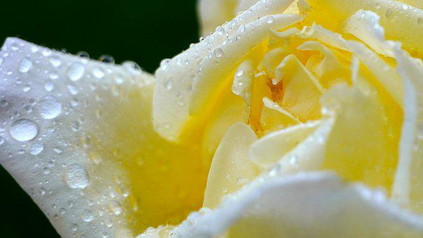 Rose, Blossom, Water Droplets, Wet Flower, Dew Drops