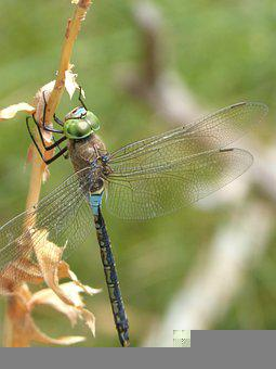 Dragonfly, Insect, Stem, Lesser Emperor