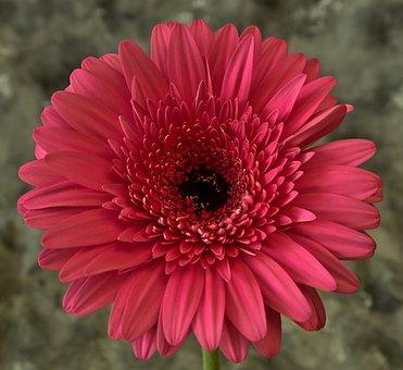 Daisy, Flower, Petals, Red Flower, Gerbera, Bloom