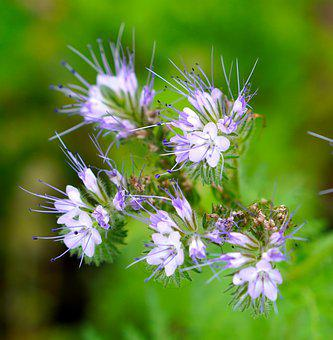 Lacy Phacelia, Flowers, Nature, Blue Tansy