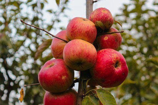 Apples, Orchard, Fruits, Produce, Harvest, Organic