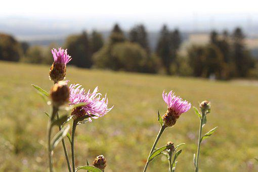 Thistle, Flowers, Meadow, Wildflowers, Spear Thistle