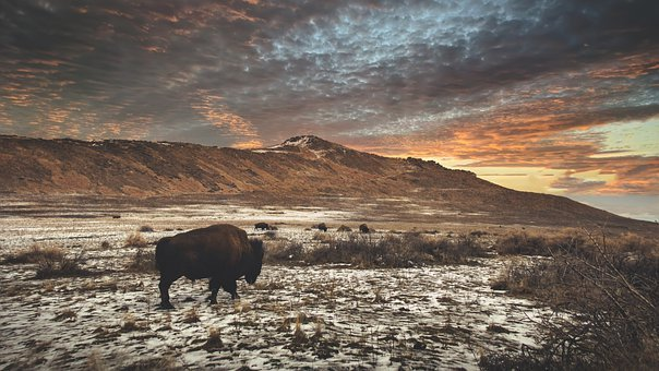 Mountain, Buffalo, Snow, Bison, Animal, Mammal