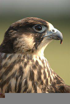 Peregrine, Bird, Animal, Peregrine Falcon, Falconry