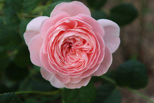 Rose, Flower, Garden, Pink Flower, Petals, Bloom