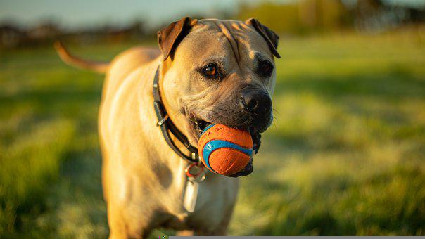 Dog, Ball, Fetch, Play, Playing, Fetching, Canine, Pet