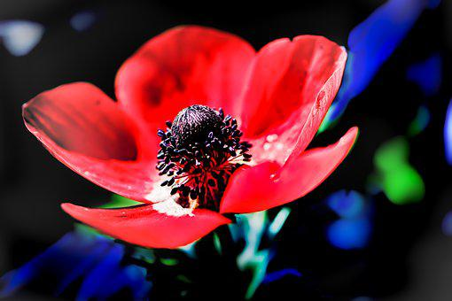 Poppy, Flower, Poppy Seeds, Red Flower, Petals, Bloom