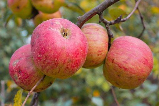 Apples, Fruits, Orchard, Produce, Organic, Apple Tree
