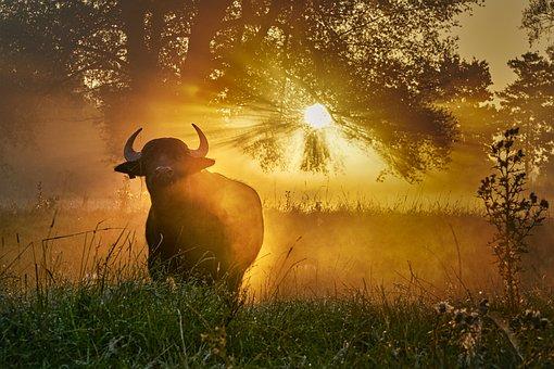Bull, Sunlight, Pasture, Meadow, Morning, Sunrise